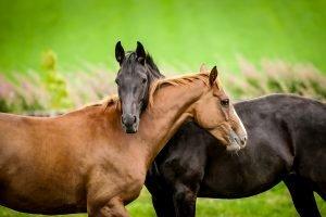 Horses Embracing